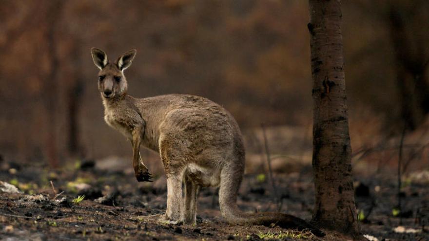 Els incendis a Austràlia devasten gairebé el 80% d'una regió boscosa patrimoni de la humanitat