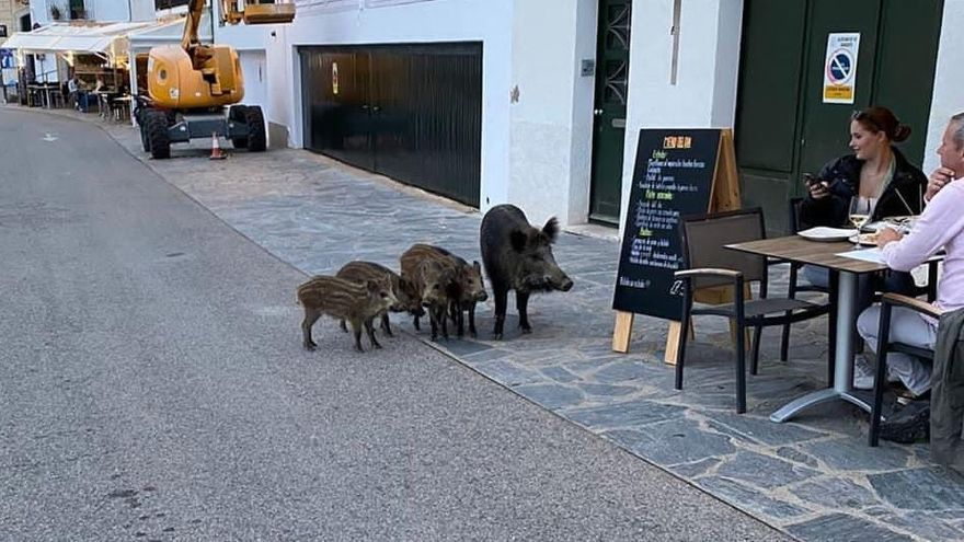 Cadaqués demana ajuda als Rurals per combatre la presència de senglars al centre urbà