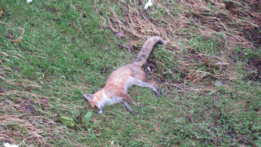 Aparece muerto el raposu urbano de Cangas de Onís