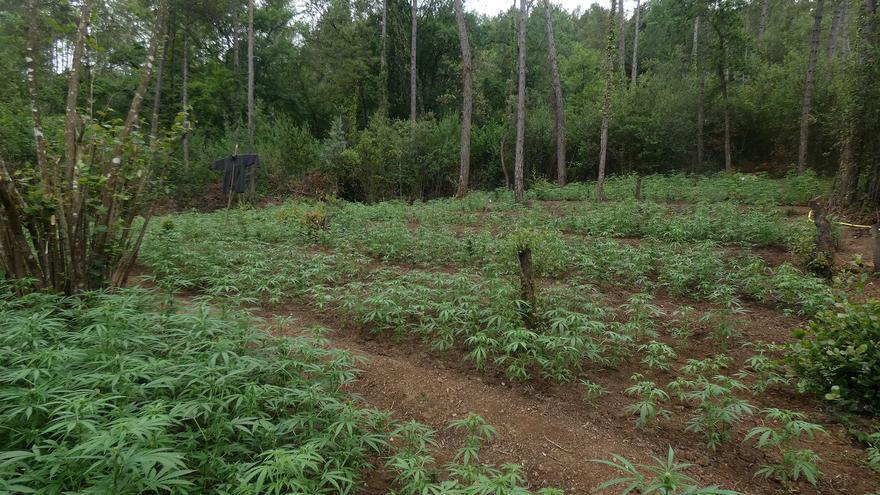 Els Mossos detenen quatre «cuidadors» d'un cultiu de marihuana a Cabanelles