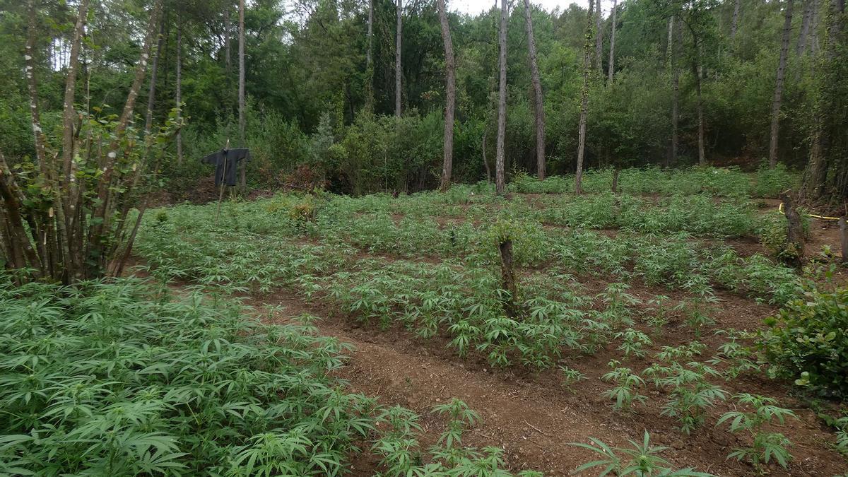 Les plantes de marihuana es cultivaven a tocar la llera d'una riera, a Cabanelles