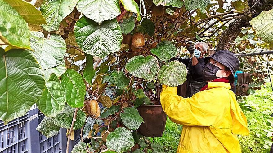 Kiwi Atlántico quiere llegar a cultivar veinte hectáreas en la vega de Belmonte