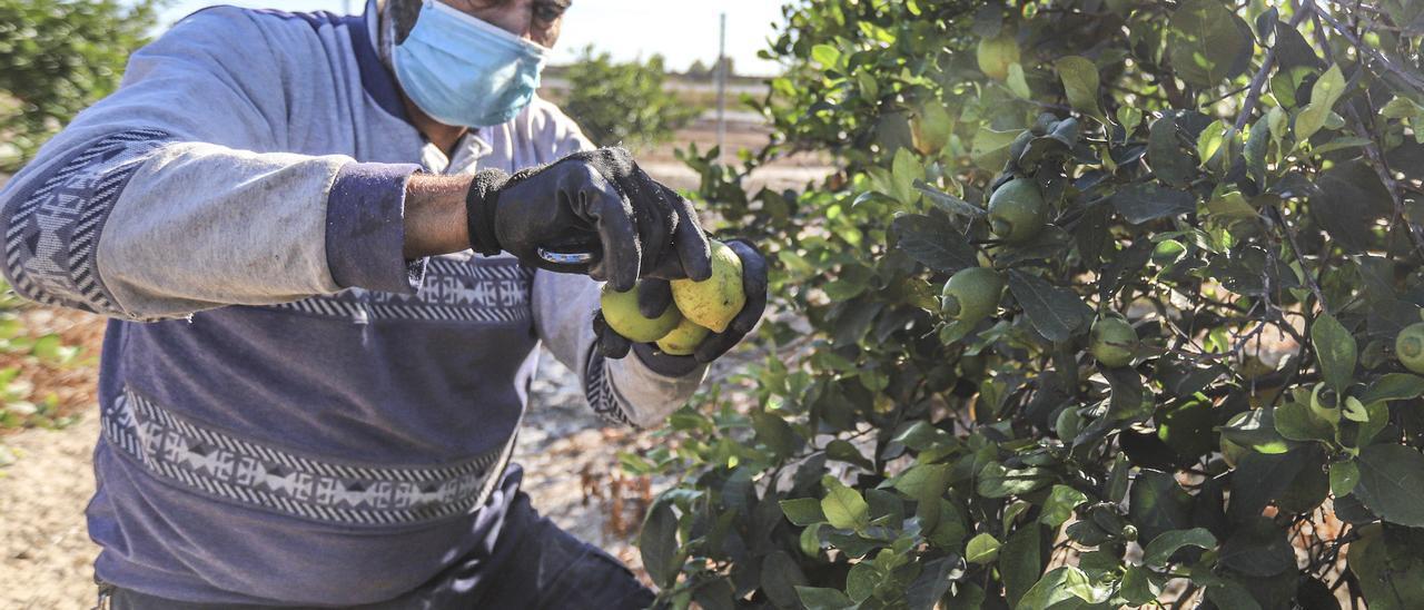 Recolección de limones en la Vega Baja