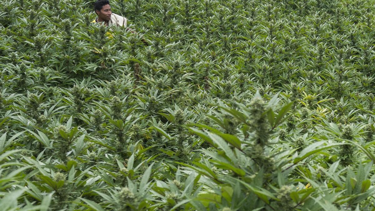 Un campo de marihuana en Toribio, Valle del Cauca, Colombia.