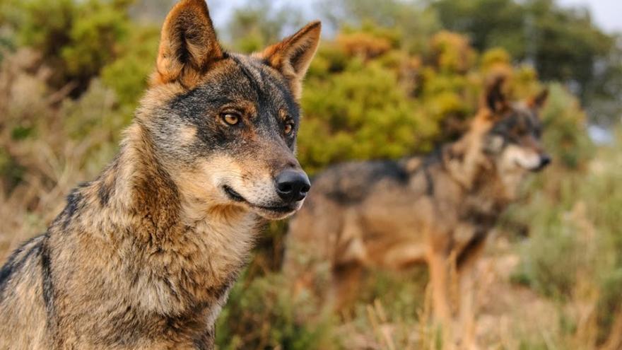 """El Noroeste, contra Ribera: """"Proteger al lobo es una puñalada de muerte al medio rural"""""""