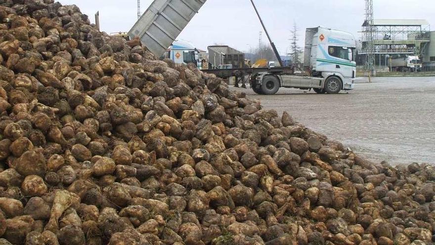 La aprobación del CETA amenaza a los cultivadores de remolacha azucarera