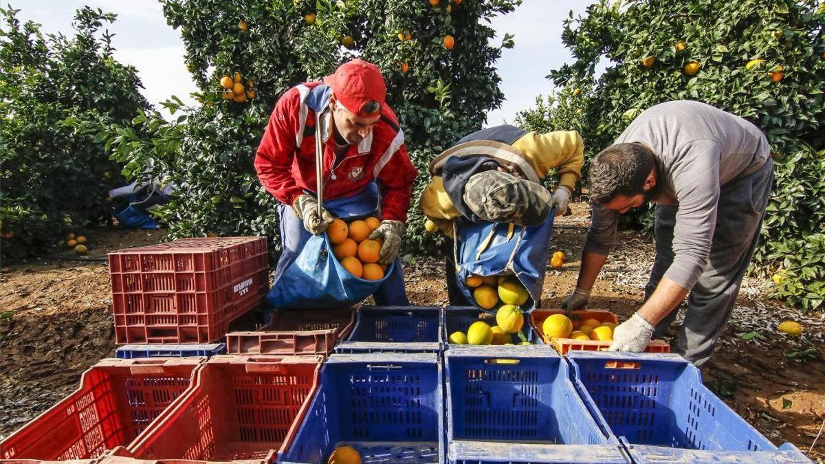 Recogida de naranjas en el Valle del Guadalquivir.