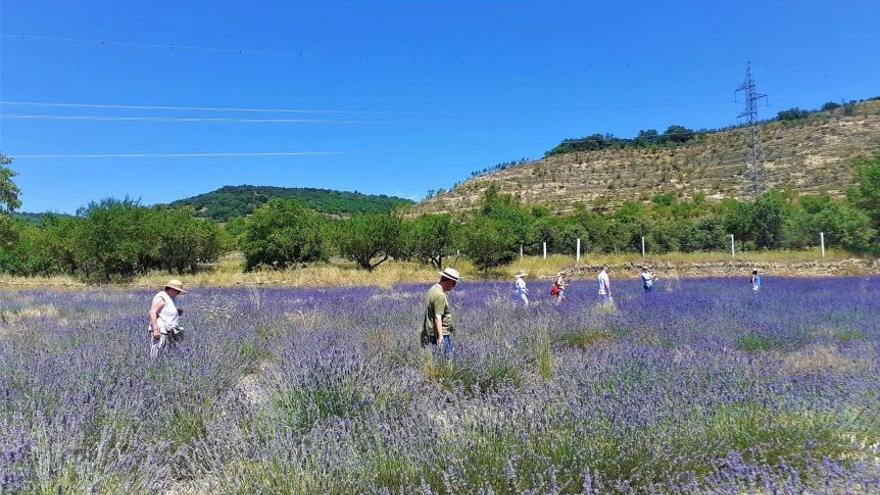 El cultivo de aromáticas se expande en Els Ports y crece su filón turístico