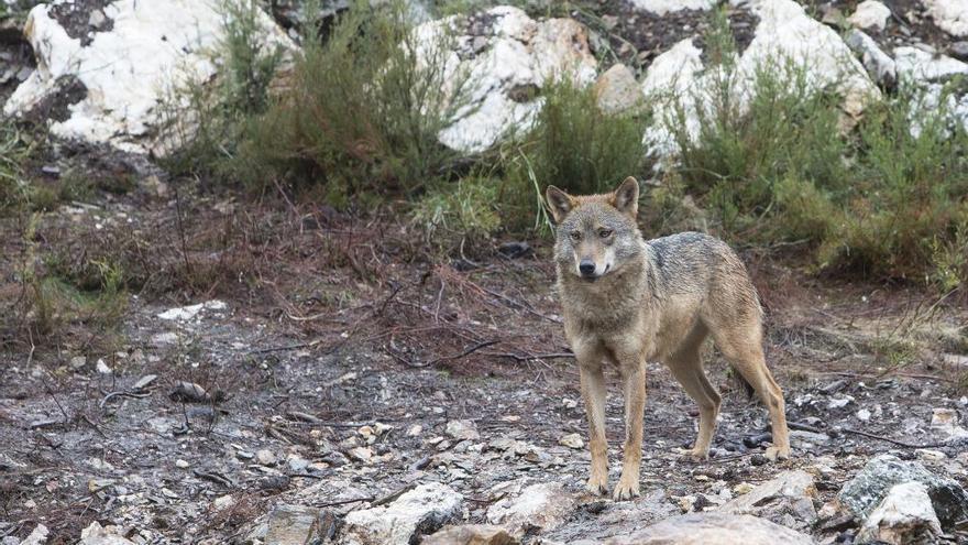 Un lobo en el Centro del Lobo Ibérico de Robledo, en Sanabria (Zamora).
