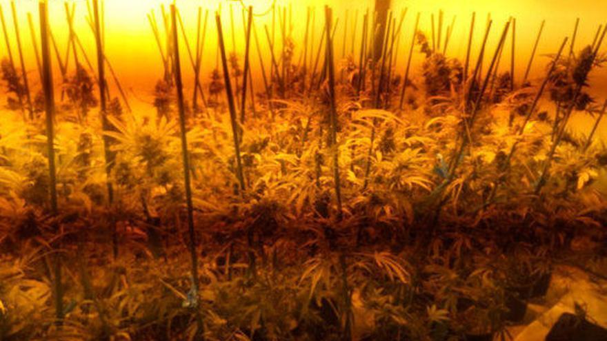 Desmantellen un cultiu de marihuana en una casa desocupada de La Pera