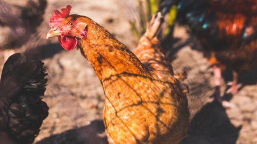 Sale a la venta en Singapur la primera carne fabricada en laboratorio, con sabor a pollo