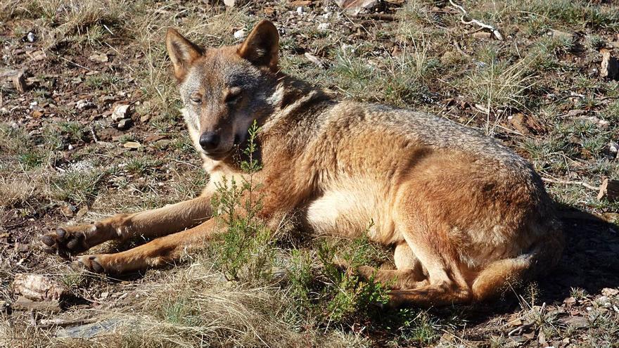 OPINIÓN | Decisión histórica na protección do lobo, e camiño por recorrer