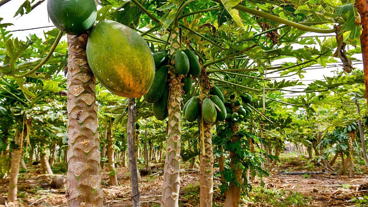 Finca con cultivo de papaya en la isla de Gran Canaria.