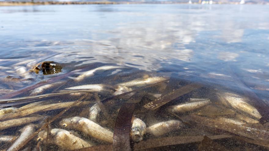 El Mar Menor expulsa cinco toneladas de peces muertos