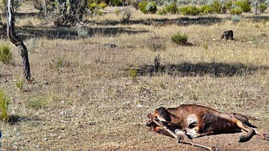 Ciervo decapitado en la zona de Valparaíso y Fresno.