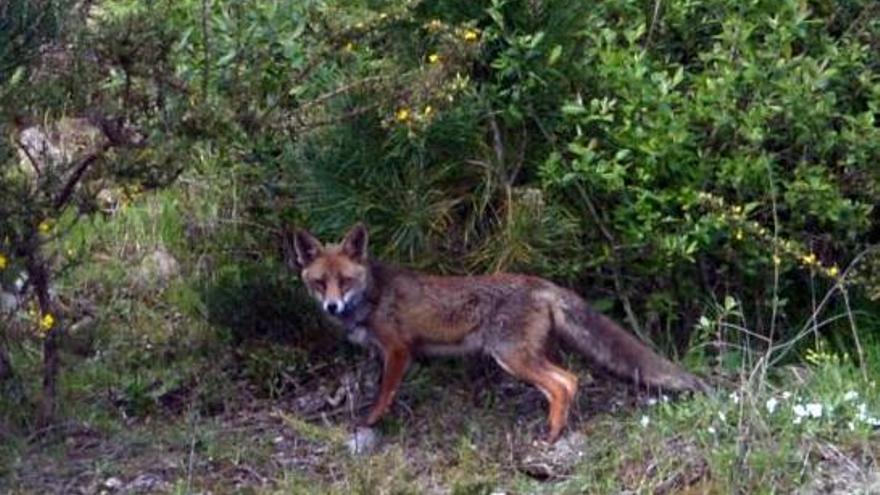 Torneos de caza del zorro frente a las críticas de los animalistas