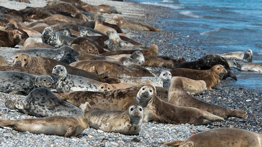 Las focas viven en grandes grupos