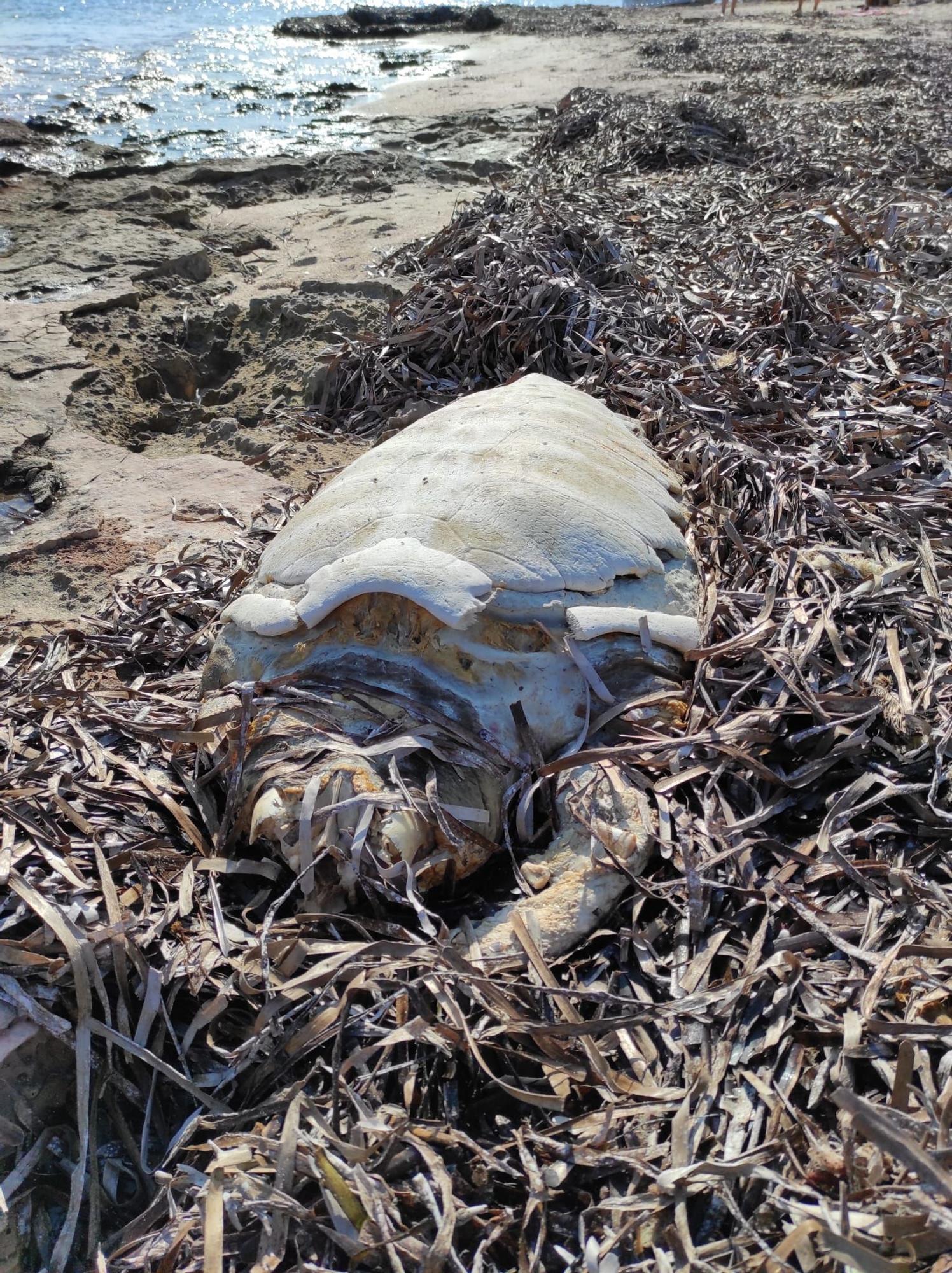 Aparece el esqueleto de una tortuga en una playa de Formentera