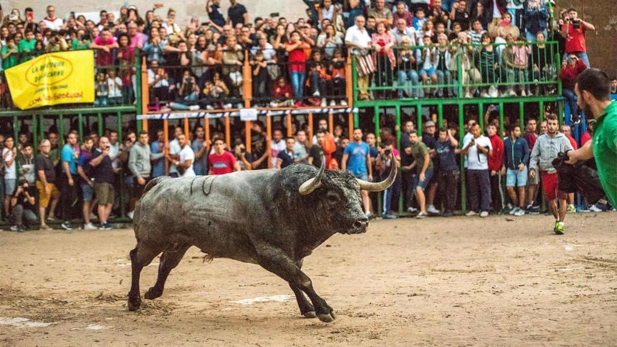Satine exhibirá un 'Miura' y un 'Victorino Martín' en las fiestas de Burriana