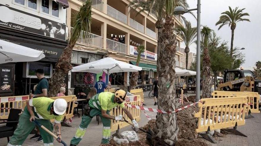 400 neue Palmen für Palma - und das ist erst der Anfang