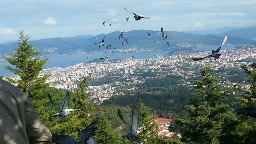 Desaparecidas | Se buscan decenas de palomas mensajeras perdidas en Galicia