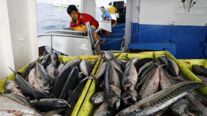 Exceso con la caballa: 1,5 millones de toneladas de sobrepesca desde 2015