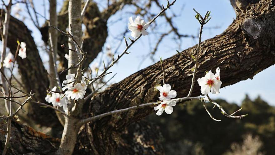 EU-Hilfen sollen die Mandelblüte auf Mallorca radikal verjüngen
