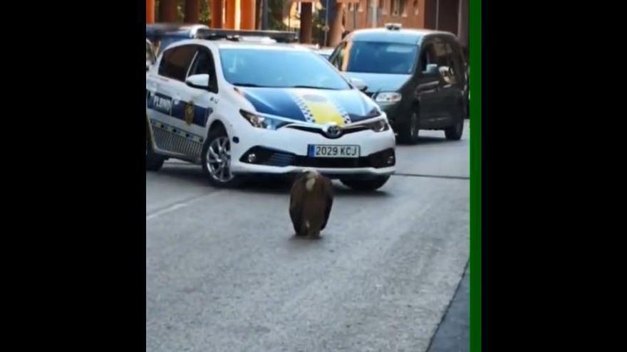"""Un buitre corta el tráfico tras """"aterrizar"""" en plena calle de Benidorm"""