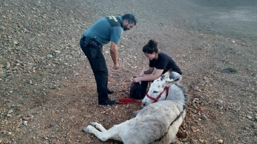 Auxilian a un burro majorero abandonado en mal estado