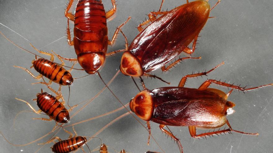 La especie de avispa que mata cucacrachas