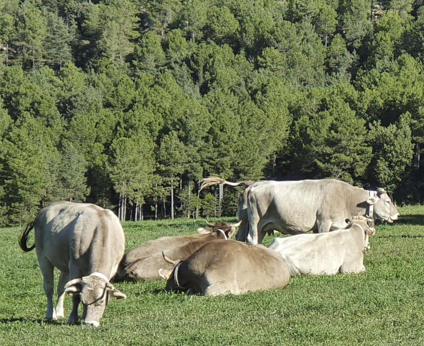 Vaques descansant al prat.