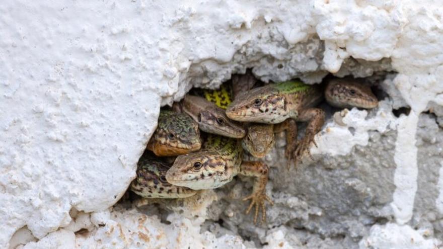 La lagartija de Ibiza, única en el mundo, se extinguirá en nueve años