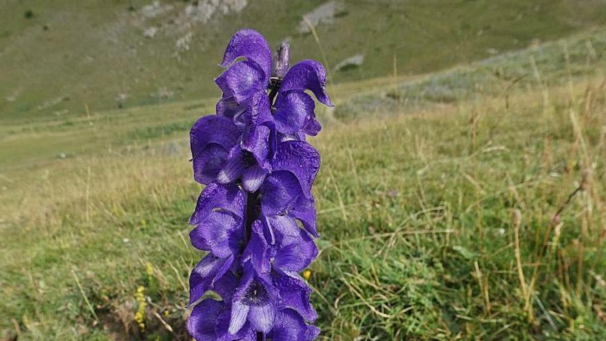 El Parc del Cadí alerta els visitants que no toquin la  planta europea més tòxica