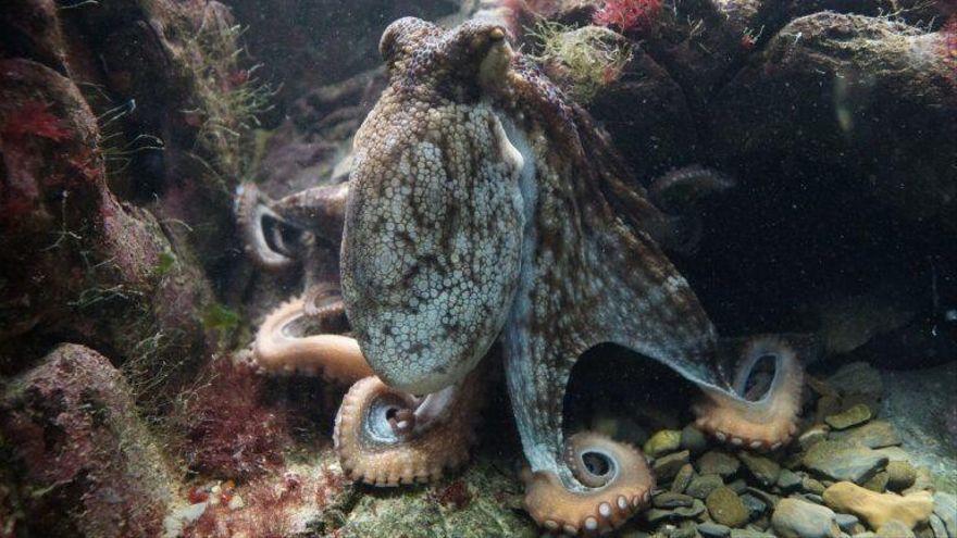 138 especies de cefalópodos habitan el Gran Ecosistema Marino de Canarias
