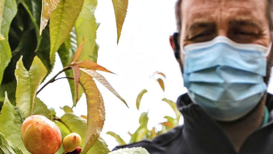 Otro golpe para la cereza: las últimas lluvias elevan las pérdidas a 4 millones de euros