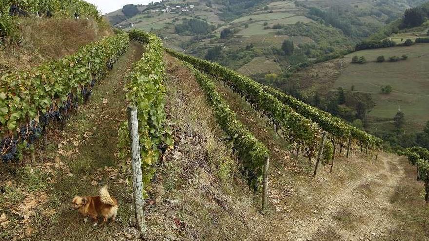 El Vino de Cangas reclama libertad para plantar viñas y triplicar la producción