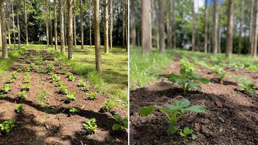 La Cátedra Hijos de Rivera investiga para regenerar suelo sometido a plantación intensiva de eucaliptos