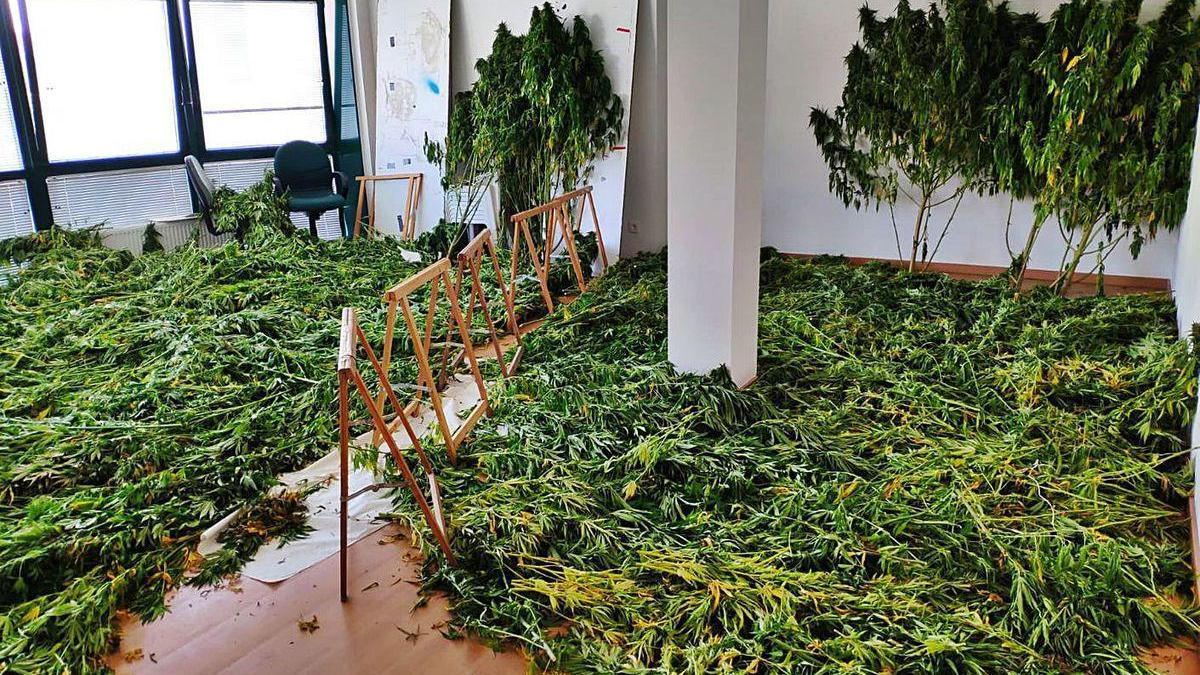 Las 200 plantas de marihuana incautadas en Xinzo de Limia.