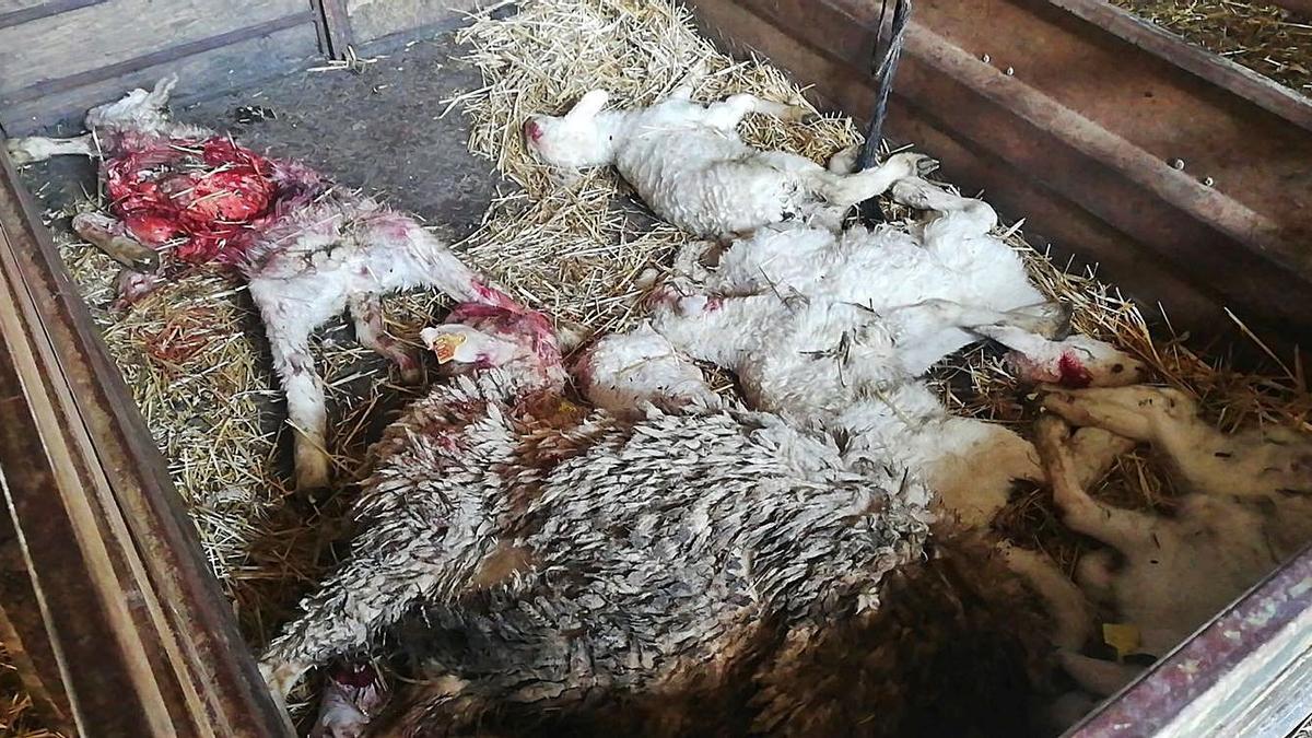 Corderos muertos como consecuencia del ataque de lobo en Viñuela de Sayago. | Cedida
