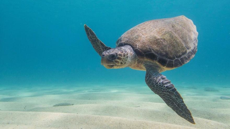 Buscan voluntarios para localizar y proteger nidos de tortuga marina en el Mediterráneo