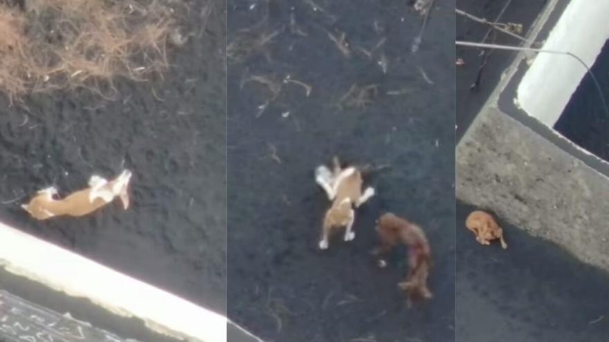 Todo listo para salvar a los tres perros aislados en la lava de La Palma