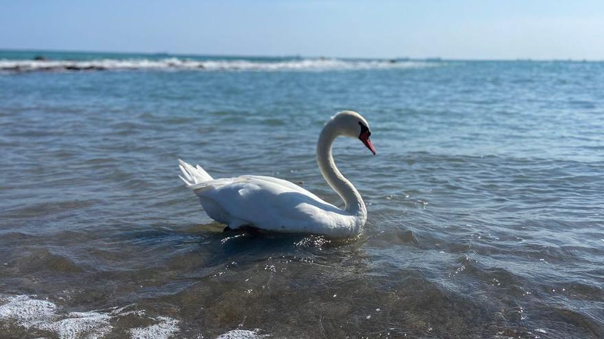 Un cisne blanco 'perdido' en la playa de Benicàssim