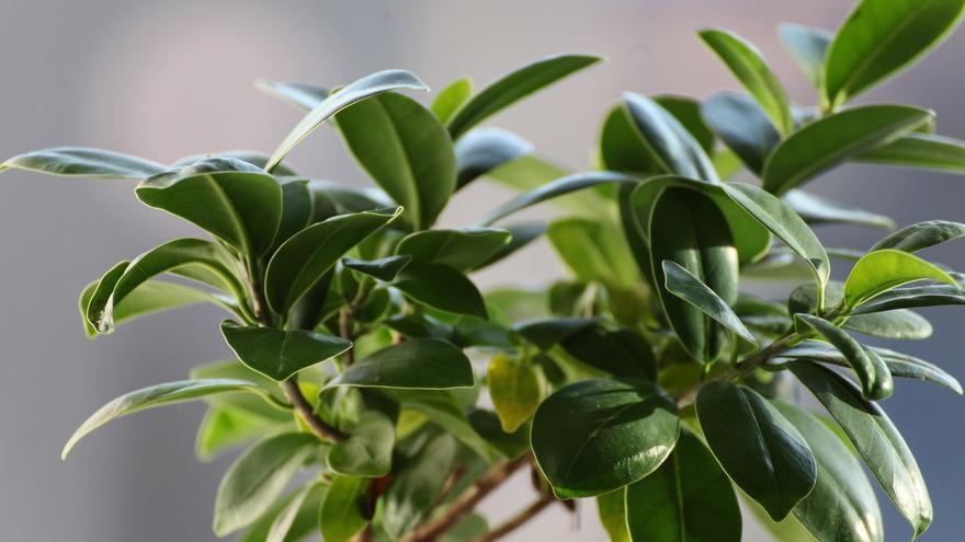 Decora tu hogar con un ficus, la planta más fácil de cuidar