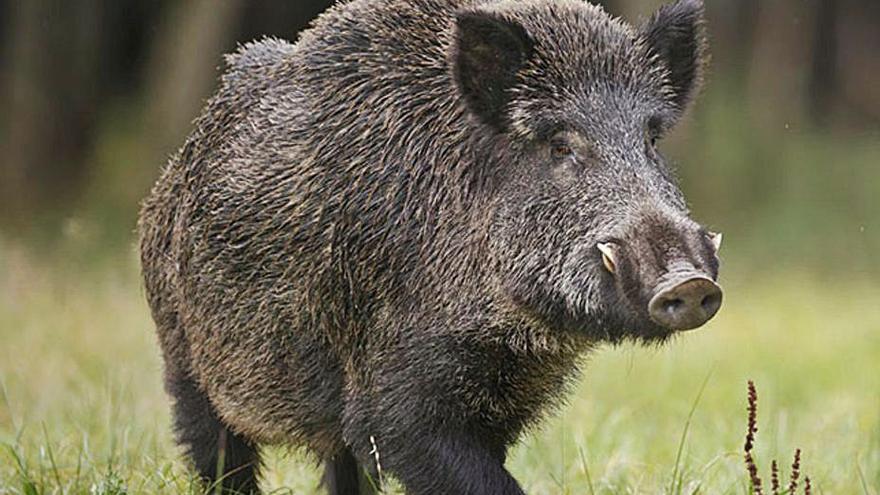 Clínicas veterinarias para la detección de la triquinosis en la carne de jabalí para autoconsumo