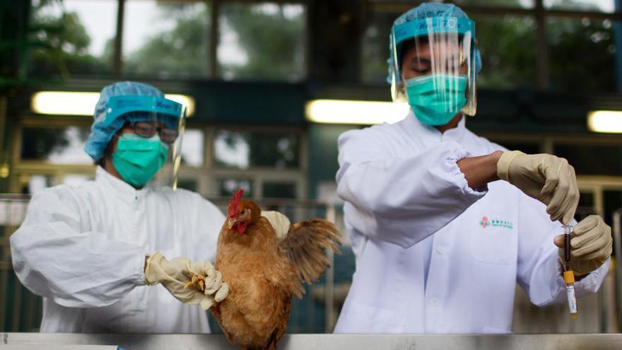 La OMS, en alerta ante la rápida propagación de la gripe aviar por todo el mundo
