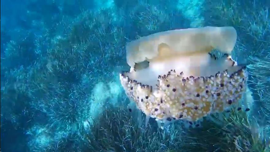 Una preciosa medusa 'huevo frito' grabada en aguas de Formentera