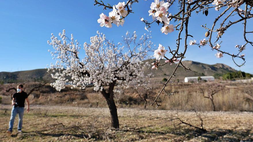 Un enero con flor de almendro en la provincia de Alicante