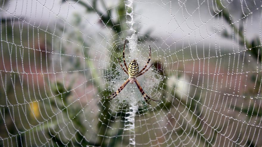 Los efectos curativos de la tela de araña: ¿qué hay de cierto?