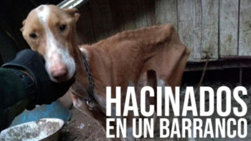Hacinados y abandonados: así sufren los perros en los barrancos de Canarias