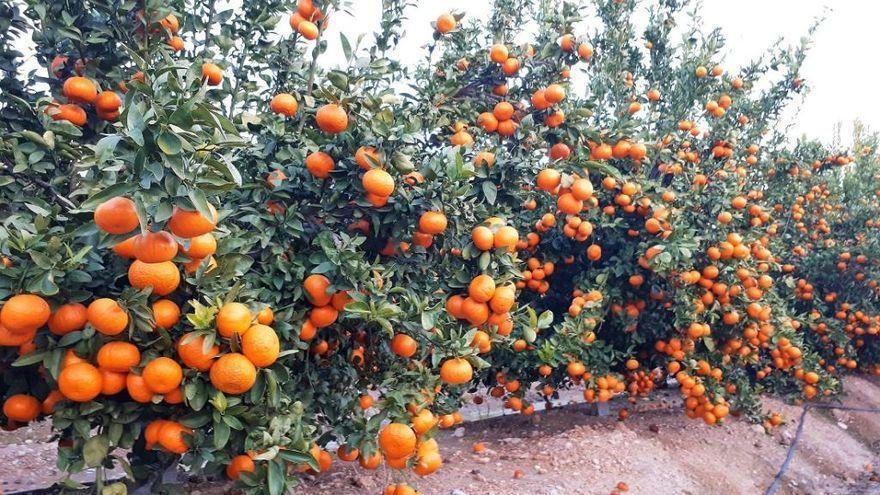 El sorprendente escondite de un radar de Tráfico: dentro de un campo de mandarinas